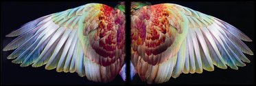 Fiona Pardington, Kereru Wings, Waiheke (5/10) 2010 Archival pigment inks on hahnemuhle Photo Rag 308gsm paper