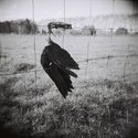 Mark Hamilton, Pukeko, 2005, Digital photographic print
