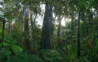 Ian Macdonald, Kauri, Puketi Forest, 2010. 1000 x 1580 mm