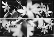 Anne Noble, A Beautiful Botany: Clematis, 1990, small unique mounted version of four vintage gelatin silver prints