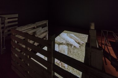 Kalisolaite 'Uhila, Pigs in the yard II, 2016. Installation view. Documentation, HD video, 15:23 mins. Filmed by Max Bellamy, commissioned by Te Tuhi, Auckland. Photo by Sam Hartnett